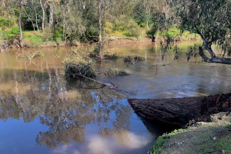 Eucalypt recently fallen into the Yarra downstream from FCC